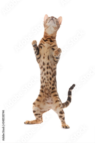 Bengal cat standing on its hind legs isolated on a white background Canvas Print