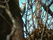 Low Angle View Of Red Bellied ...