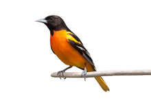 Baltimore Oriole On White Back...