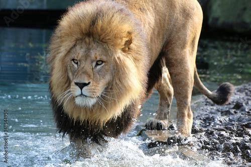 Löwe (Panthera leo) Männchen mit Mähne im Wasser Fototapete