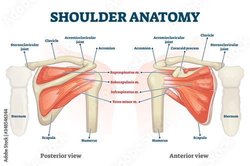 Photo Shoulder anatomy vector illustration