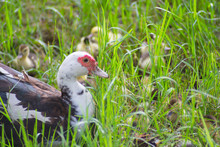 Close-up Of Muscovy Duck With Ducklings On Field