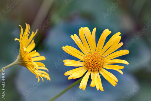 Carta da parati Doronicum orientale - sparkling yellow, daisy-like flowers in spring garden