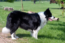 Side View Of Border Collie Standing In Park