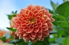 Close-up Of Coral Dahlia