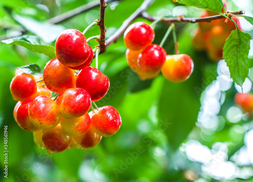 Canvas Close-up Of Cherries Growing On Tree