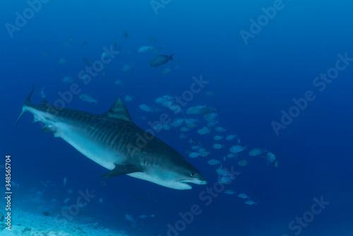 Fotografie, Tablou Tiger Shark Close Up Diving in the Maledives