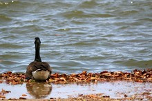 Canada Goose On Riverbank