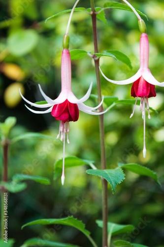 Pink Fuchsias Blooming Outdoors Fototapeta