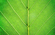 View of a leaf's veins