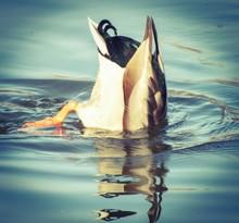 Duck With Head Under Water