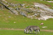 Two Zebras Grazing Near Some Rocks