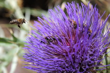Close-up Of Bees Pollinating Thistle