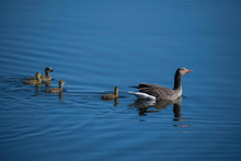 Greylag Goose With Chicks In A...