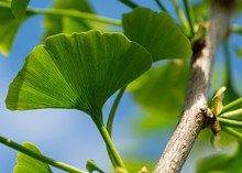 Leaves Of A Ginkgo Biloba Tree,Maidenhair Tree , Ginkgophyta.