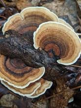 Turkey Tail Mushroom On A Branch