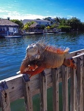 Spiky Iguana On Wooden Railing...