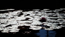 Close-up Of Lily Pads Floating On Water
