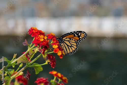 monarch butterfly on yarrow flower Wallpaper Mural