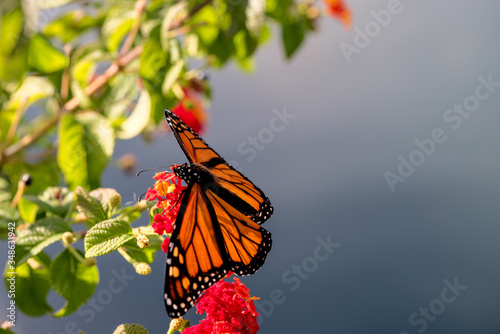 monarch butterfly on a flower Canvas Print