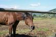 Konie w tatrzańskiej stadninie. Brązowe konie w zagrodzie.