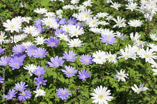 Blue and white Grecian Windflowers (or Balkan Anemone, Winter Windflower) in St Canvas Print