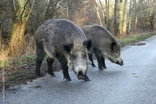 Cuadros en Lienzo Two wild boars, coming out of the forest on the road, beg for food from the drivers