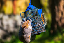 Squirrel Hanging From Bird Fee...