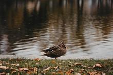 Duck In Autumn Beside Lake