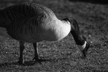 Canada Goose Foraging On Field