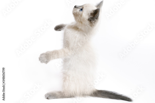 The funny white Thai kitten stands on its hind legs and looks up. Canvas-taulu