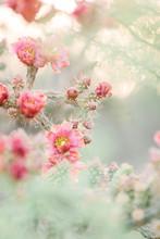 Pink Cactus Flowers In Spring