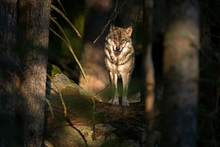 Wolf (Canis Lupus) Stay On The Rock. Calm Wolf Has A Rest On The Rock. Hidden Predator In The Forest