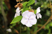 """Manaca Brunfelsia"" Flower (o..."