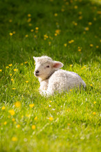 A Lamb Sitting In The Spring Sunshine, In A Meadow With Buttercups