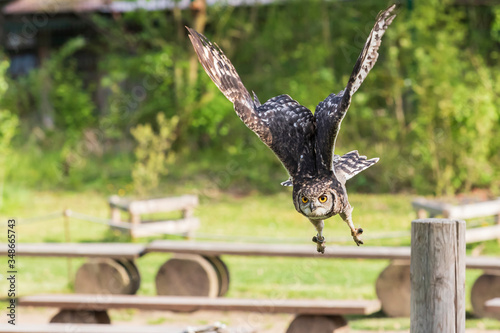 Photo African eagle owl - Bubo africanus - falconry guided on