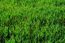 Light Green Wheat Field Close-...