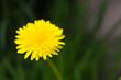 mniszek lekarski, mniszek pospolity, Taraxacum officinale, w czasie kwitnienia wiosną, pojedynczy żółty kwiat,