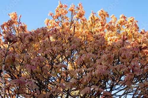 Acer briliantissimum in flower Canvas Print