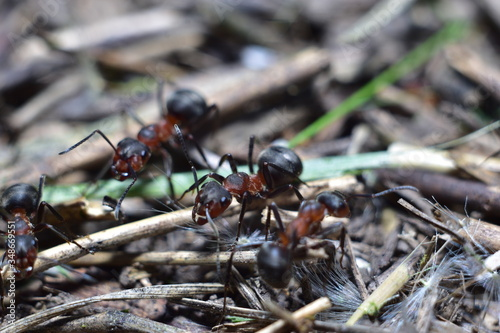 close-up of an ant in a forest anthill Wallpaper Mural