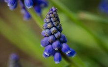 Close-up Of Grape Hyacinth Blooming Outdoors