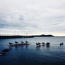 Canada Goose On Lake By Bridge...