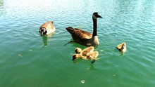 High Angle View Of Canada Geese With Goslings Swimming In Lake