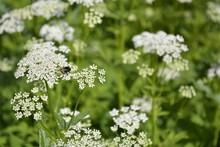 Saint Petersburg, Russia. July, 22, 2015. A Honey Bee On White Tiny Flowers Of The Yarrow Against The Grass. Achillea Wildflowers In Meadow