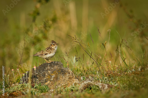 Valokuva Wood Lark - Lullula arborea brown crested bird on the meadow (pastureland), lark