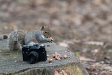 A Gray Squirrel Eats A Peanut Near An Old Camera