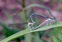 Damselflies Mating On Leaf