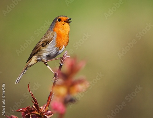 Fotografie, Obraz Close-up Of Robin Perching On Plant Twig