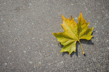 Light Yellow And Green Bottom Surface Of Maple Leaf Lying On Asphalt. Copy Space On The Left. Maple Leaf In Autumn Colors On Asphalt Road.