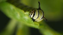 Closeup Of A Monarch Butterfly Caterpillar